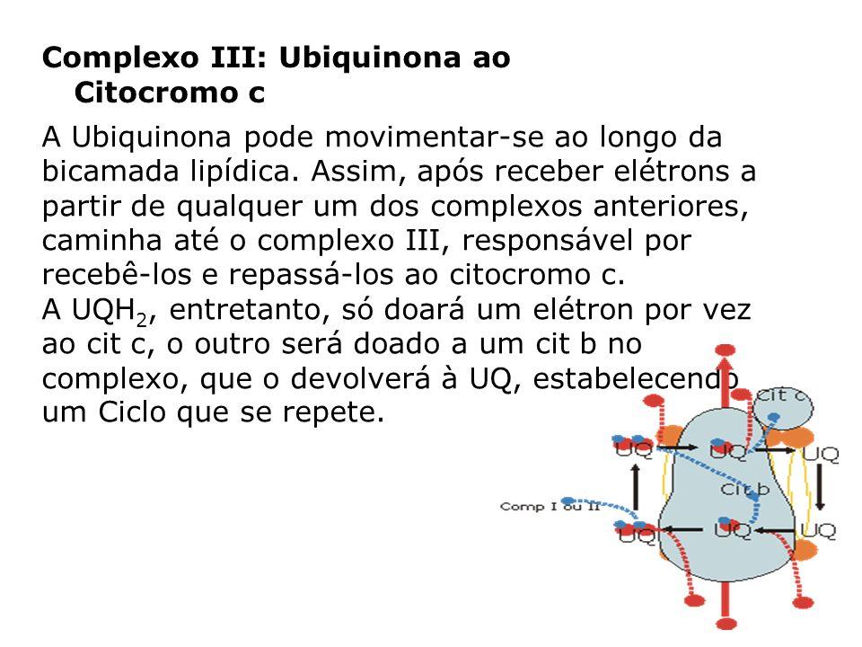 Complexo III: Ubiquinona ao Citocromo c A Ubiquinona pode movimentar-se ao longo da bicamada lipídica. Assim, após receber elétrons a partir de qualqu