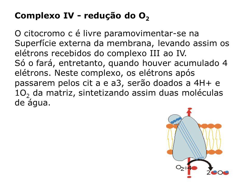 Complexo IV - redução do O 2 O citocromo c é livre paramovimentar-se na Superfície externa da membrana, levando assim os elétrons recebidos do complex