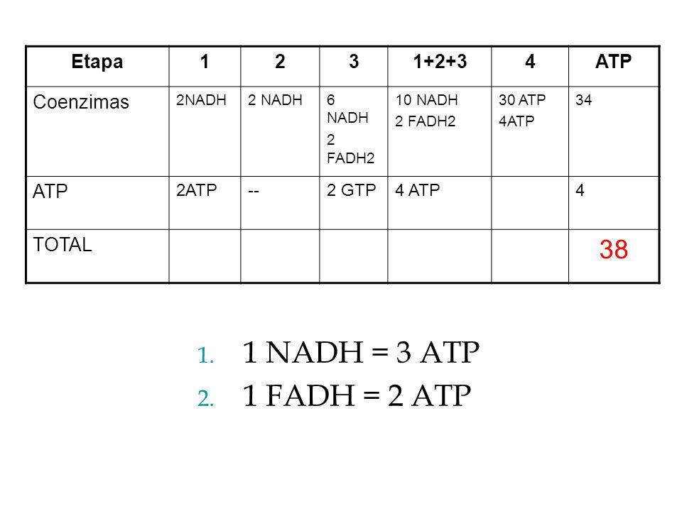 Etapa1231+2+34ATP Coenzimas 2NADH 6 NADH 2 FADH2 10 NADH 2 FADH2 30 ATP 4ATP 34 ATP 2ATP--2 GTP4 ATP4 TOTAL 38 1. 1 NADH = 3 ATP 2. 1 FADH = 2 ATP