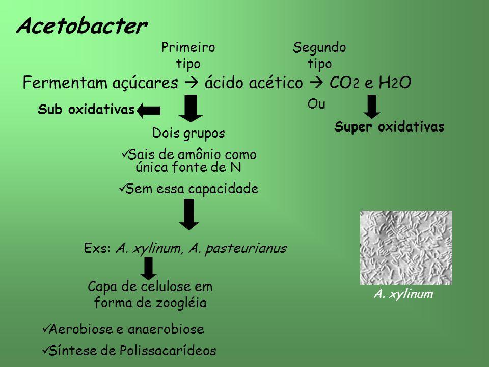 Acetobacter Fermentam açúcares ácido acético CO 2 e H 2 O Ou Primeiro tipo Segundo tipo Dois grupos Sais de amônio como única fonte de N Sem essa capacidade Exs: A.