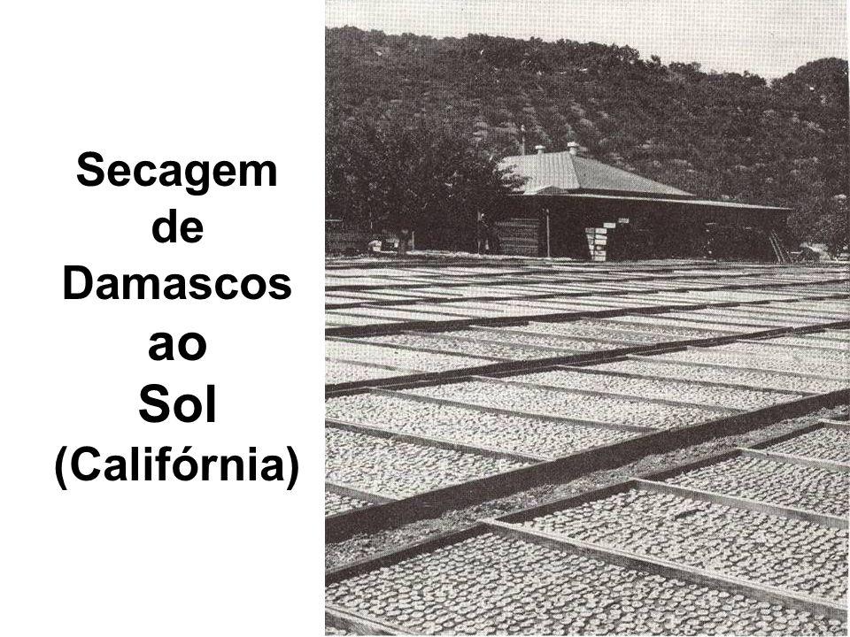 Secagem de Damascos ao Sol (Califórnia)