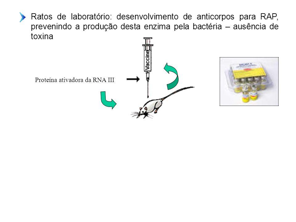 Ratos de laboratório: desenvolvimento de anticorpos para RAP, prevenindo a produção desta enzima pela bactéria – ausência de toxina Proteína ativadora