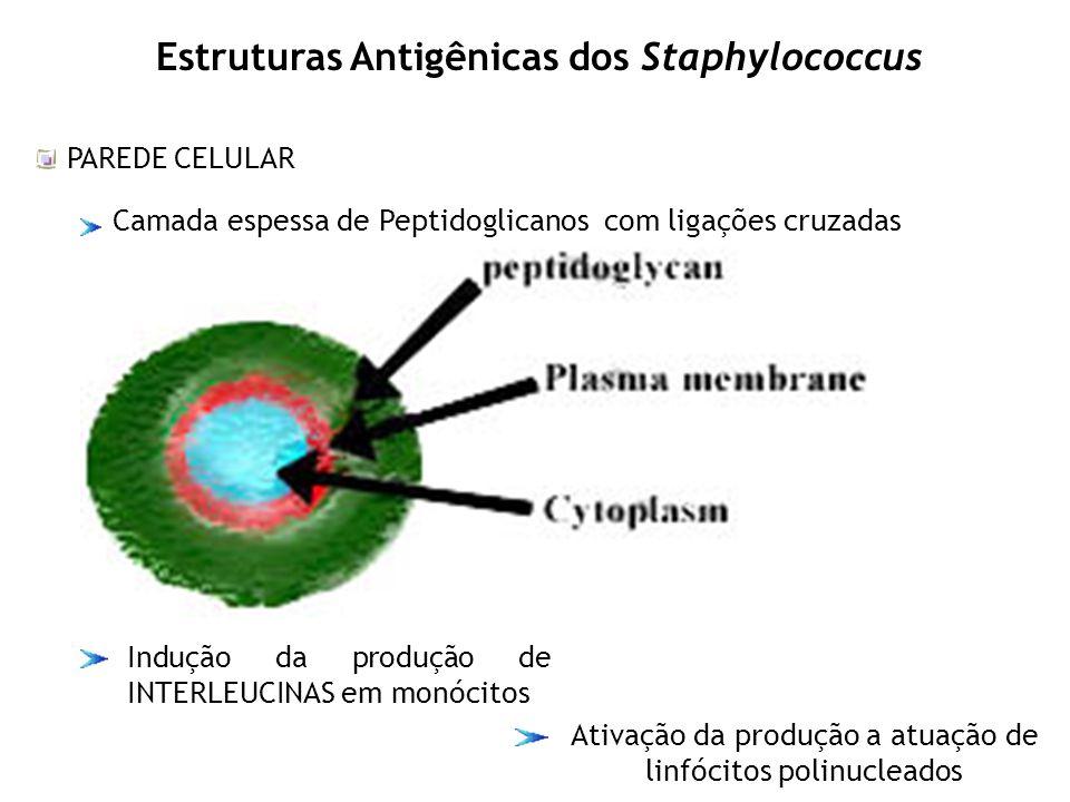 Estruturas Antigênicas dos Staphylococcus PAREDE CELULAR Camada espessa de Peptidoglicanos com ligações cruzadas Indução da produção de INTERLEUCINAS