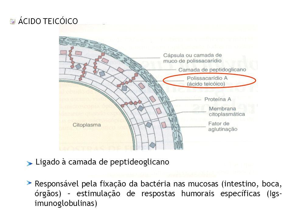 ÁCIDO TEICÓICO Ligado à camada de peptideoglicano Responsável pela fixação da bactéria nas mucosas (intestino, boca, órgãos) – estimulação de resposta