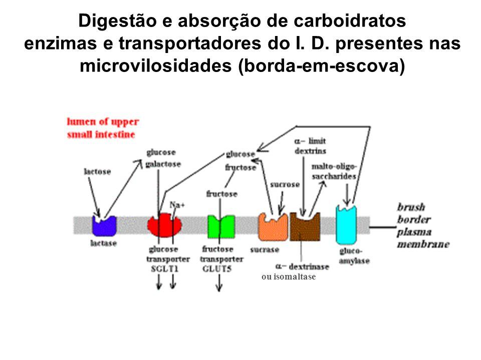 Digestão e absorção de carboidratos enzimas e transportadores do I. D. presentes nas microvilosidades (borda-em-escova) ou isomaltase