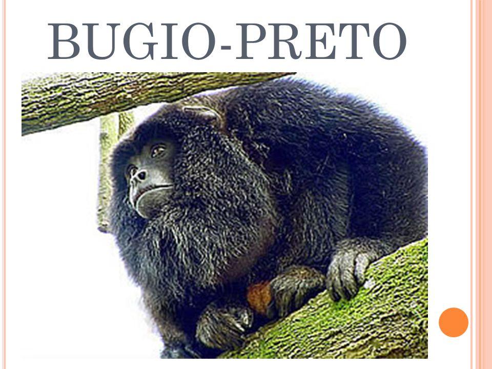 BUGIO-PRETO