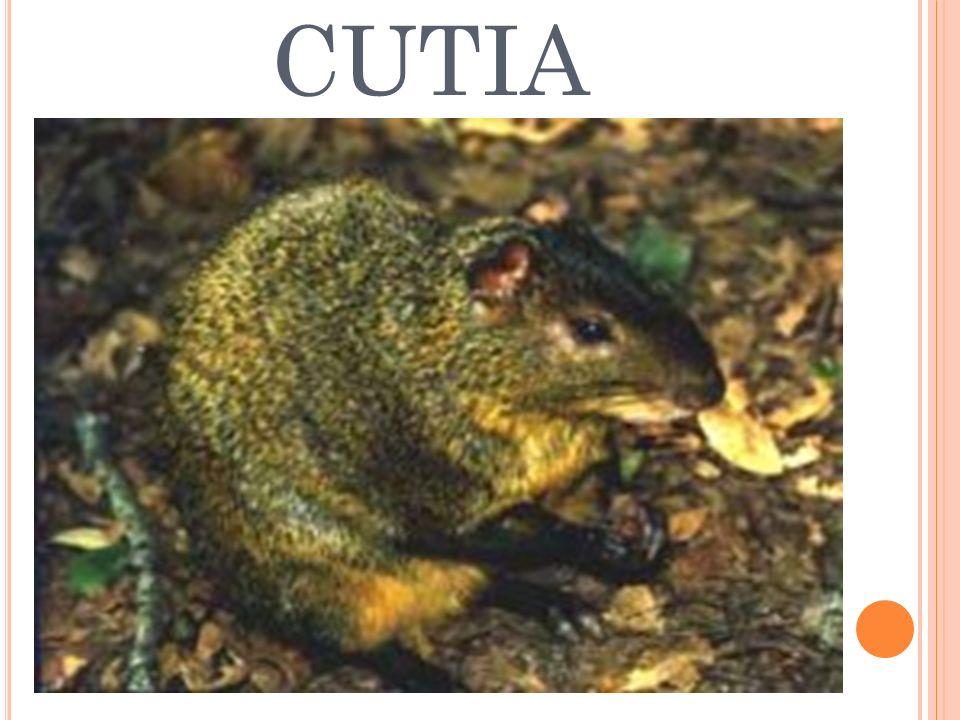 CUTIA