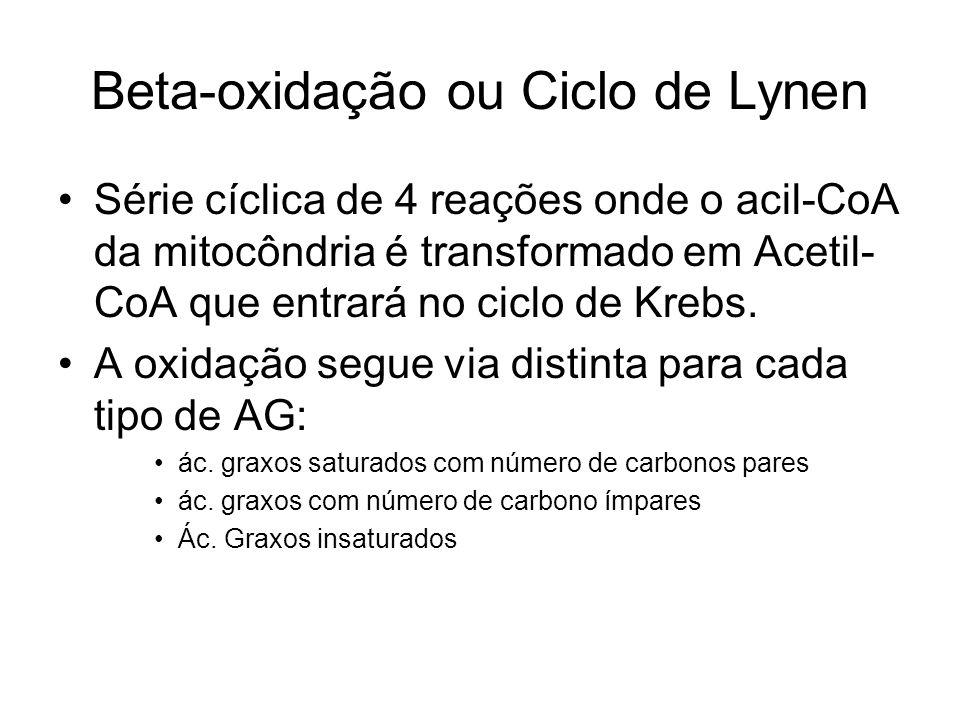 Beta-oxidação ou Ciclo de Lynen Série cíclica de 4 reações onde o acil-CoA da mitocôndria é transformado em Acetil- CoA que entrará no ciclo de Krebs.
