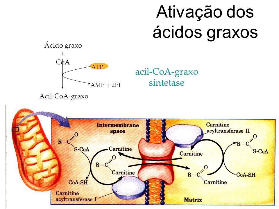 Ativação dos ácidos graxos ATP AMP + 2Pi acil-CoA-graxo sintetase Ácido graxo + CoA Acil-CoA-graxo