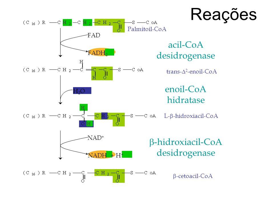 Reações FAD FADH 2 H2OH2O NAD + NADH + H + acil-CoA desidrogenase Palmitoil-CoA enoil-CoA hidratase trans- 2 -enoil-CoA -hidroxiacil-CoA desidrogenase L- -hidroxiacil-CoA -cetoacil-CoA