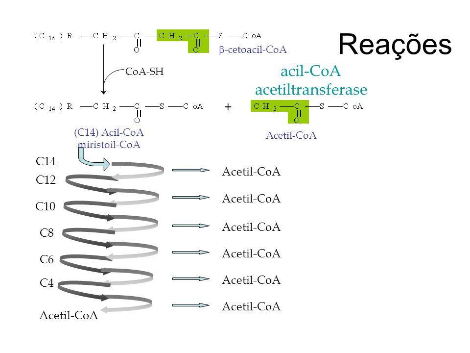 Reações CoA-SH acil-CoA acetiltransferase -cetoacil-CoA (C14) Acil-CoA miristoil-CoA Acetil-CoA + C14 C12 C10 C8 C6 C4 Acetil-CoA