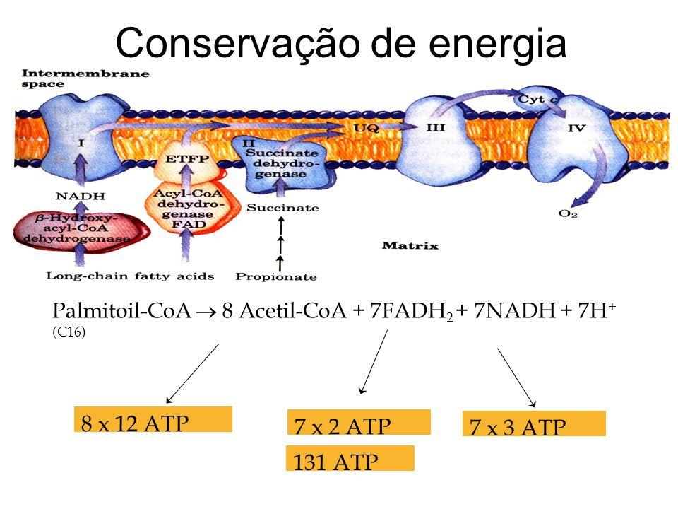 Conservação de energia Palmitoil-CoA 8 Acetil-CoA + 7FADH 2 + 7NADH + 7H + (C16) 8 x 12 ATP 7 x 2 ATP 7 x 3 ATP 131 ATP