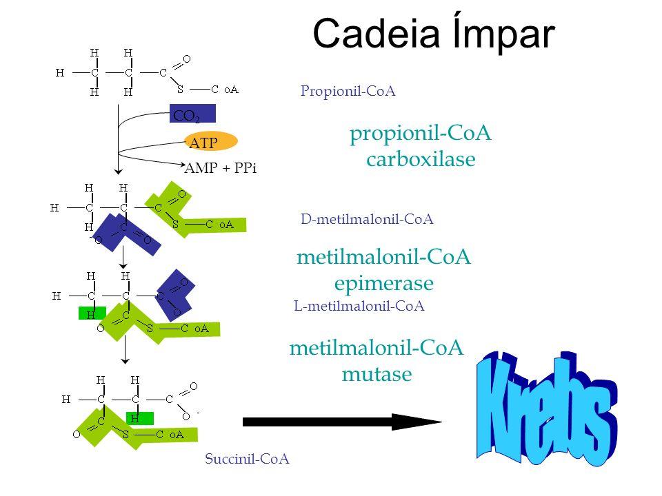 Cadeia Ímpar ATP AMP + PPi CO 2 propionil-CoA carboxilase Propionil-CoA D-metilmalonil-CoA metilmalonil-CoA epimerase L-metilmalonil-CoA metilmalonil-CoA mutase Succinil-CoA
