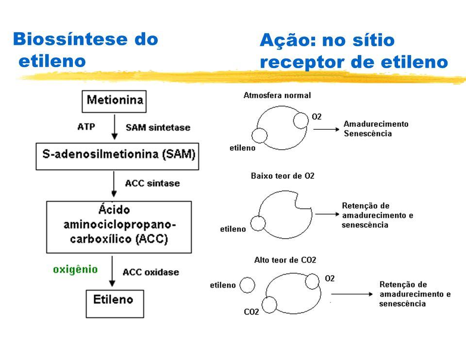 Biossíntese do etileno Ação: no sítio receptor de etileno