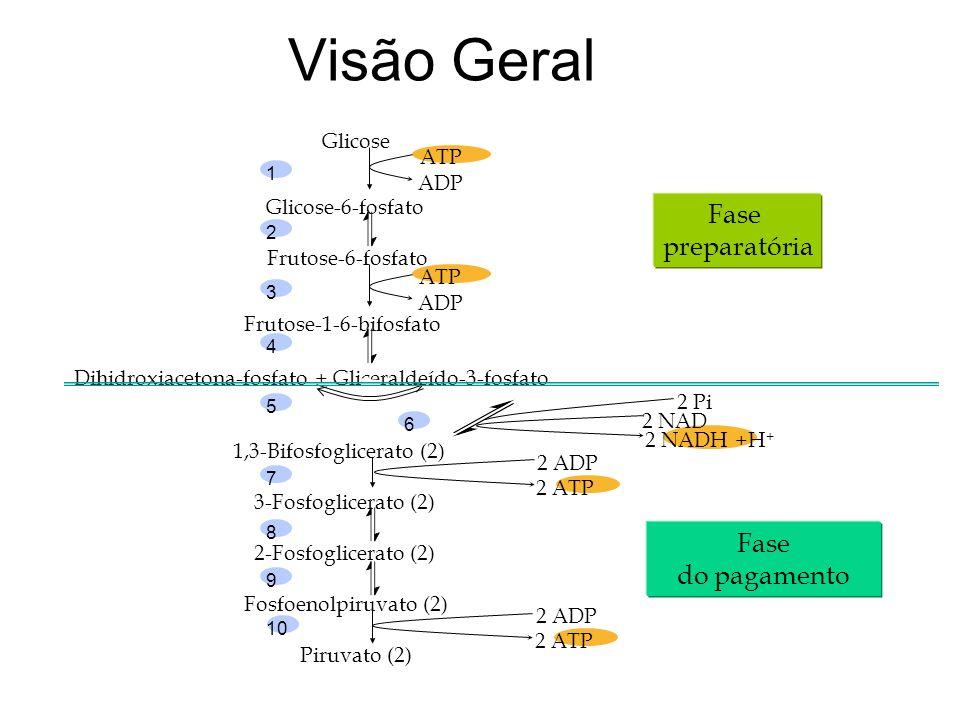 Etapas comuns à glicólise: Glicose-6-p Frutose-6-p Gliceraldeido-3-P Estes compostos em comum são importantes pois o organismos pode utilizar as duas vias em situações de acúmulo indevido de algum.