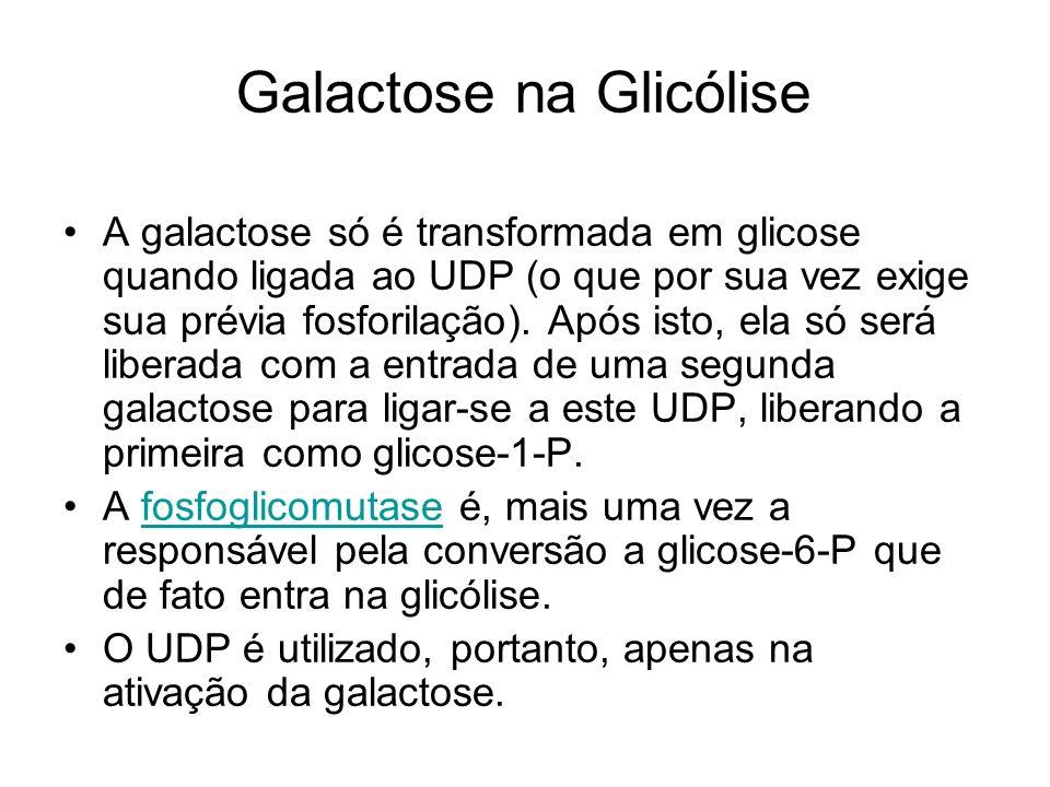 Galactose na Glicólise A galactose só é transformada em glicose quando ligada ao UDP (o que por sua vez exige sua prévia fosforilação). Após isto, ela