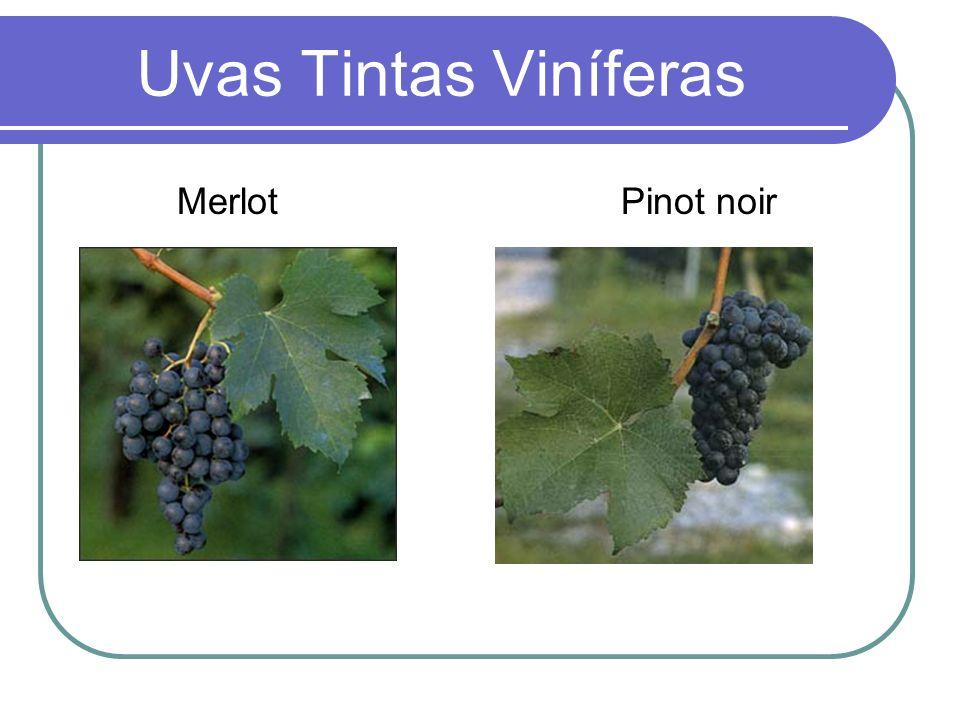 Uvas Tintas Viníferas Merlot Pinot noir