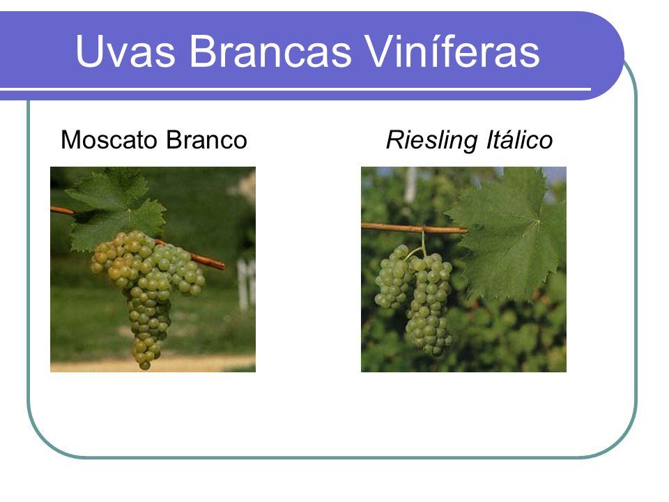 Uvas Brancas Viníferas Moscato Branco Riesling Itálico