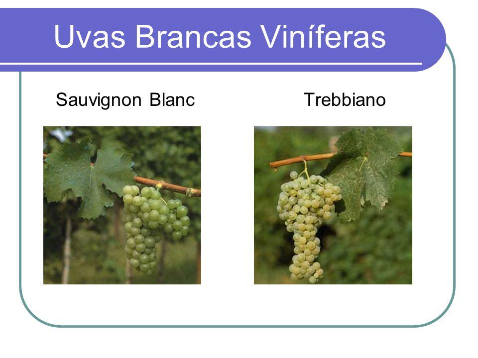 Uvas Brancas Viníferas Sauvignon Blanc Trebbiano
