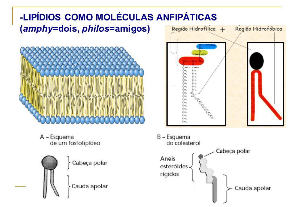 -LIPÍDIOS COMO MOLÉCULAS ANFIPÁTICAS (amphy=dois, philos=amigos)