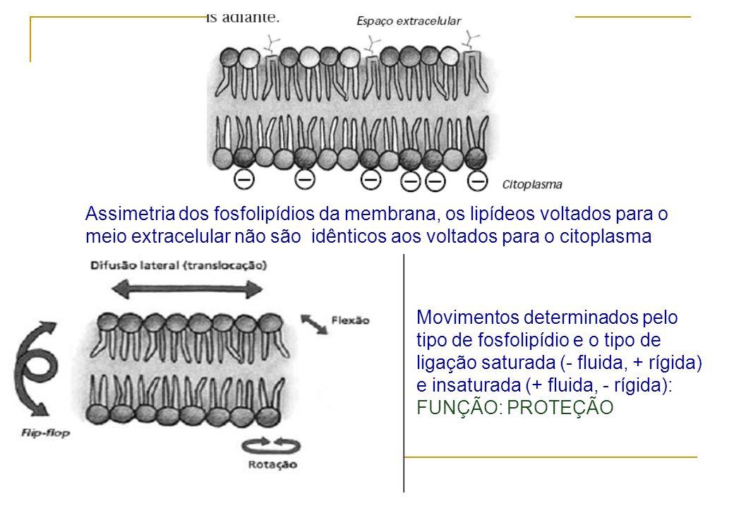 Assimetria dos fosfolipídios da membrana, os lipídeos voltados para o meio extracelular não são idênticos aos voltados para o citoplasma Movimentos de