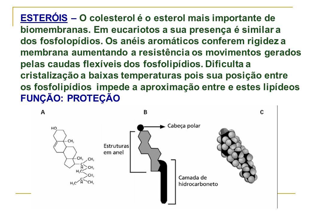 ESTERÓIS – O colesterol é o esterol mais importante de biomembranas. Em eucariotos a sua presença é similar a dos fosfolopídios. Os anéis aromáticos c
