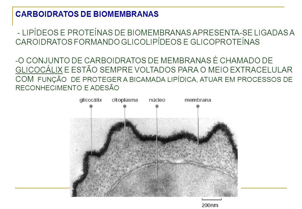 CARBOIDRATOS DE BIOMEMBRANAS - LIPÍDEOS E PROTEÍNAS DE BIOMEMBRANAS APRESENTA-SE LIGADAS A CAROIDRATOS FORMANDO GLICOLIPÍDEOS E GLICOPROTEÍNAS -O CONJ