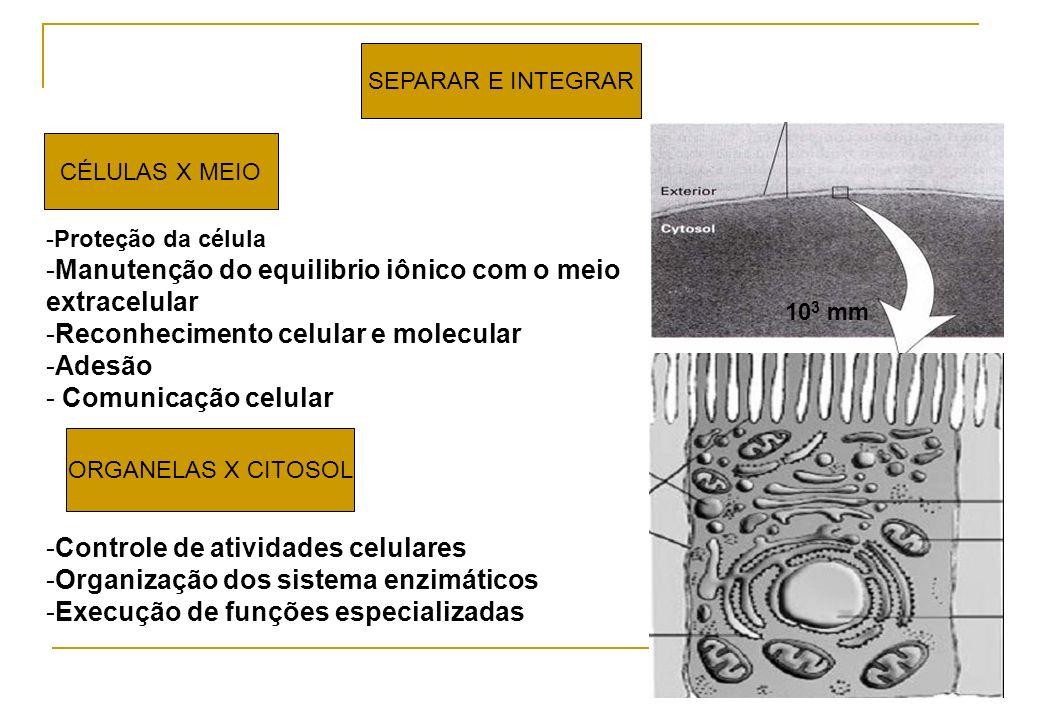 SEPARAR E INTEGRAR CÉLULAS X MEIO -Proteção da célula -Manutenção do equilibrio iônico com o meio extracelular -Reconhecimento celular e molecular -Ad