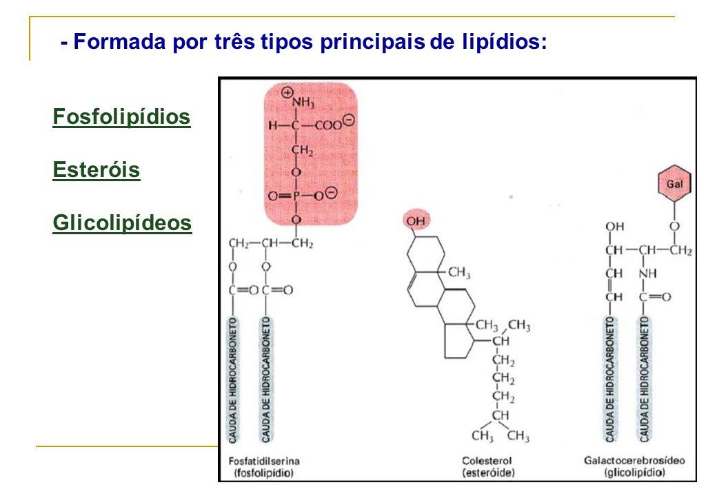 - Formada por três tipos principais de lipídios: Fosfolipídios Esteróis Glicolipídeos