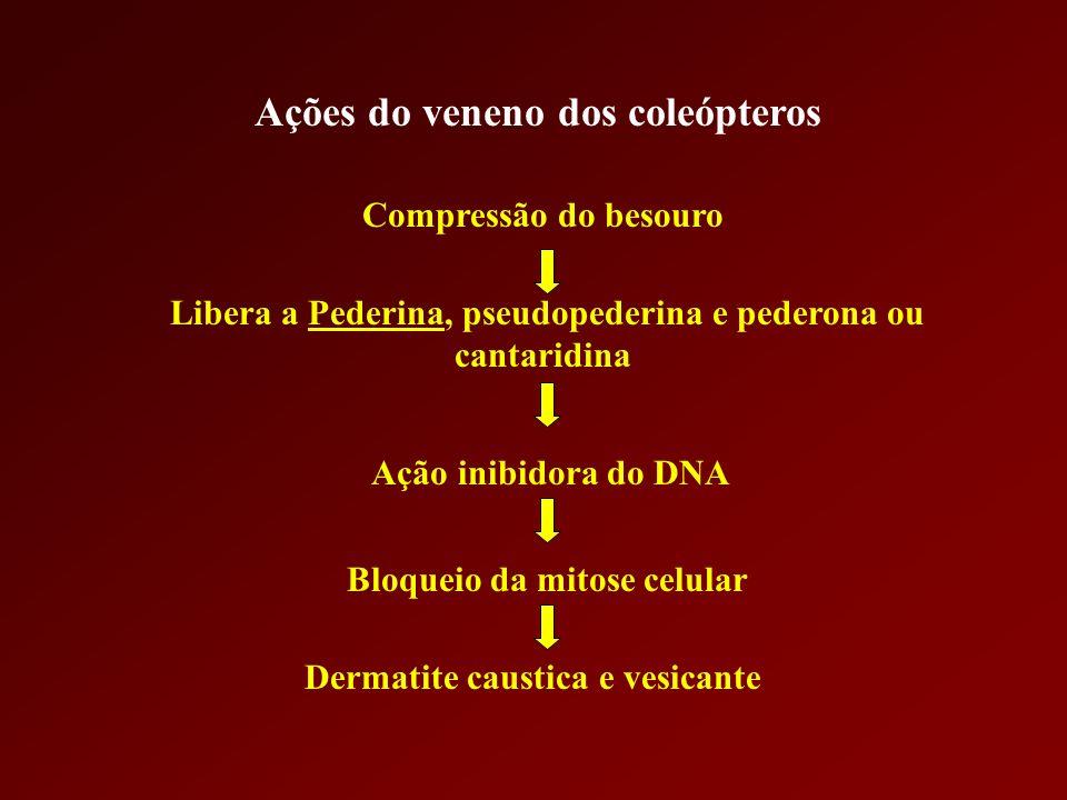 Ações do veneno dos coleópteros Compressão do besouro Libera a Pederina, pseudopederina e pederona ou cantaridina Ação inibidora do DNA Bloqueio da mi
