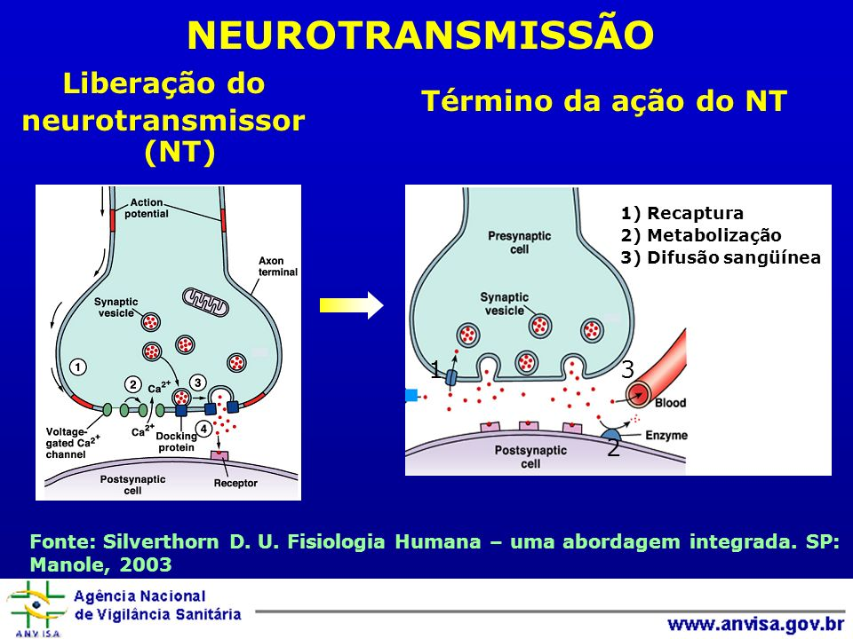 Liberação do neurotransmissor (NT) Término da ação do NT Fonte: Silverthorn D. U. Fisiologia Humana – uma abordagem integrada. SP: Manole, 2003 NEUROT