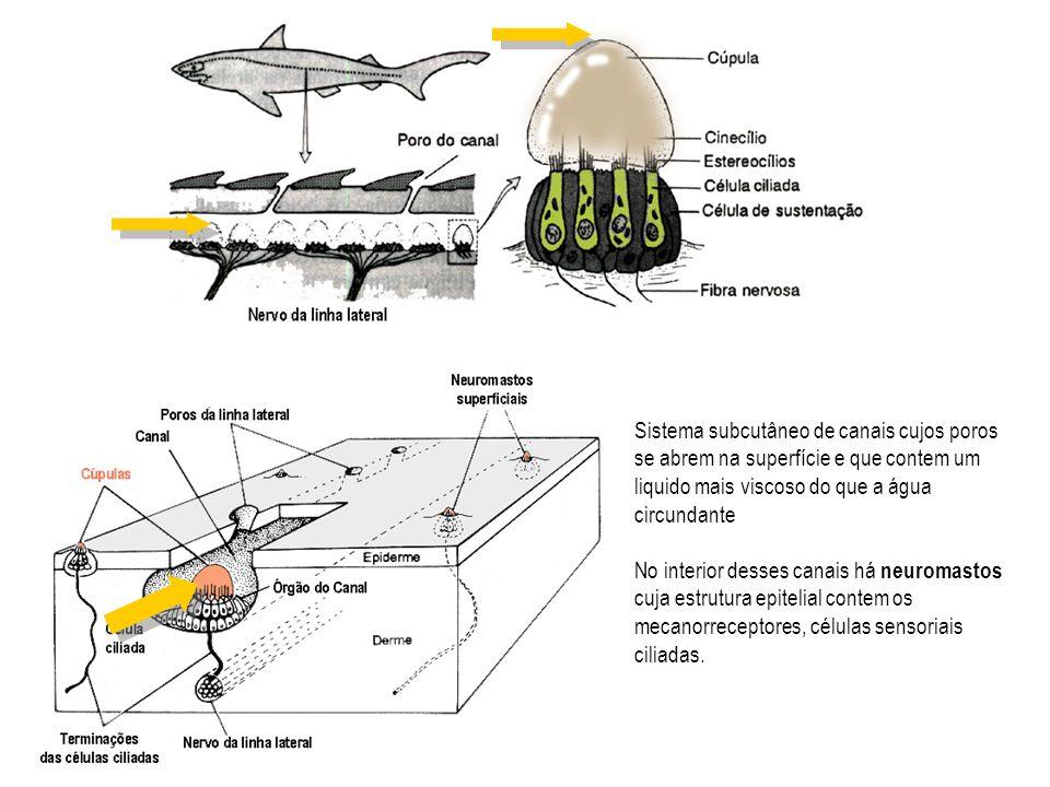 Sistema subcutâneo de canais cujos poros se abrem na superfície e que contem um liquido mais viscoso do que a água circundante No interior desses cana