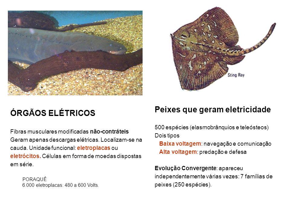 ÓRGÃOS ELÉTRICOS Fibras musculares modificadas não-contráteis Geram apenas descargas elétricas. Localizam-se na cauda. Unidade funcional: eletroplacas