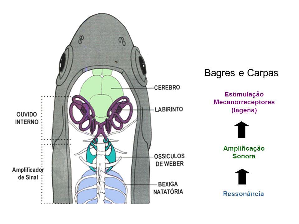 Ressonância Amplificação Sonora Estimulação Mecanorreceptores (lagena) Bagres e Carpas