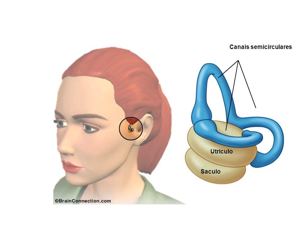 Canais semicirculares Utriculo Saculo