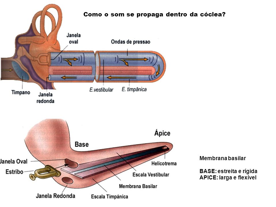 Como o som se propaga dentro da cóclea? Membrana basilar BASE: estreita e rígida APICE: larga e flexível