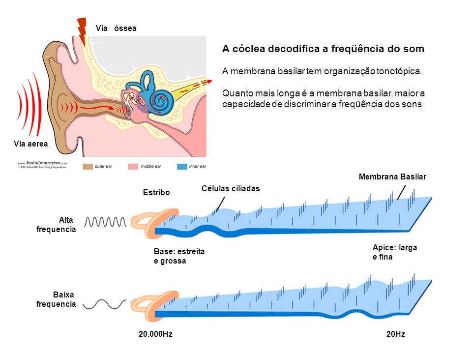 Baixa frequencia Base: estreita e grossa Apice: larga e fina Células ciliadas Membrana Basilar Estribo Alta frequencia 20.000Hz20Hz A cóclea decodific