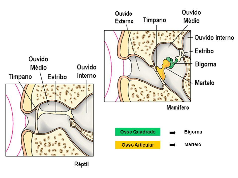 Osso QuadradoBigorna Osso Articular Martelo