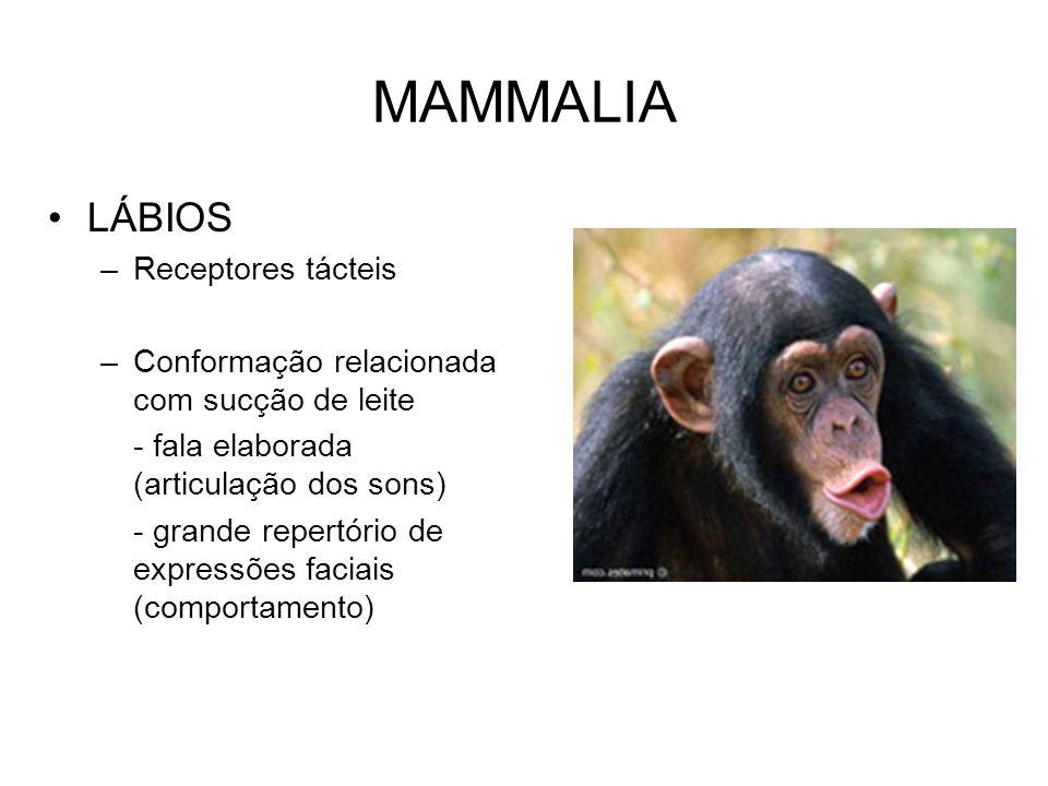 MAMMALIA LÁBIOS –Receptores tácteis –Conformação relacionada com sucção de leite - fala elaborada (articulação dos sons) - grande repertório de expres