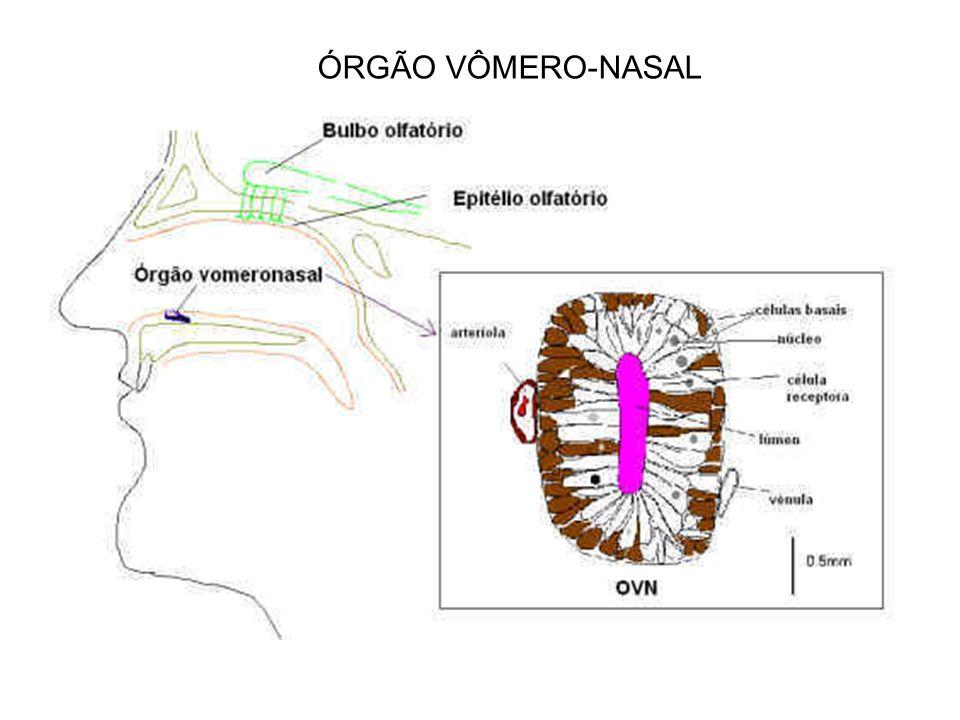 ÓRGÃO VÔMERO-NASAL