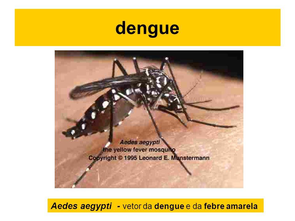 dengue Aedes aegypti - vetor da dengue e da febre amarela