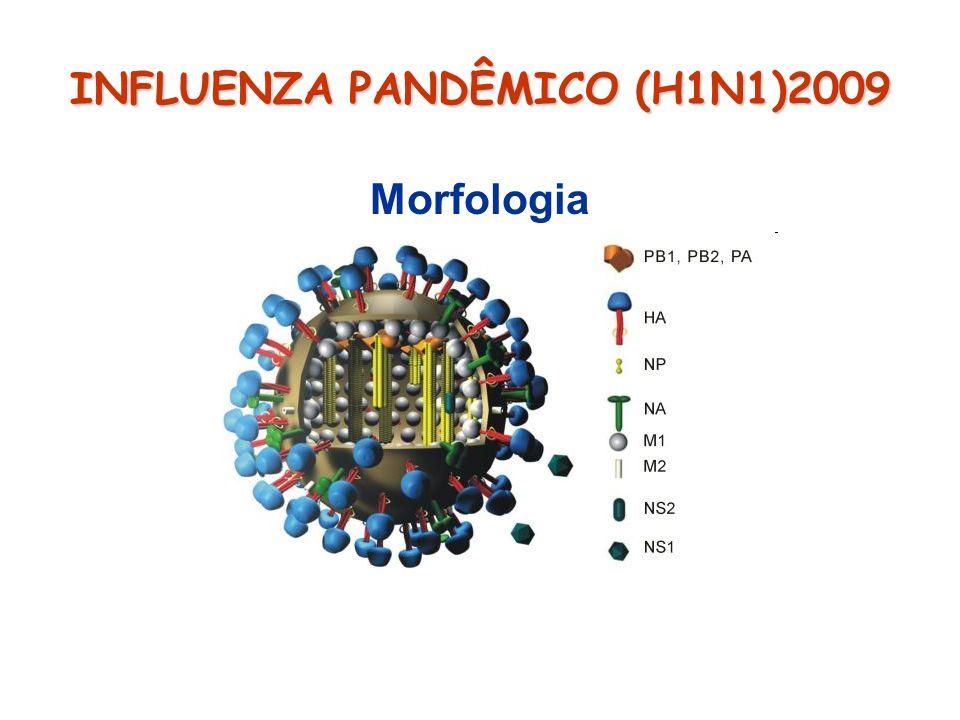 INFLUENZA PANDÊMICO (H1N1)2009 Morfologia