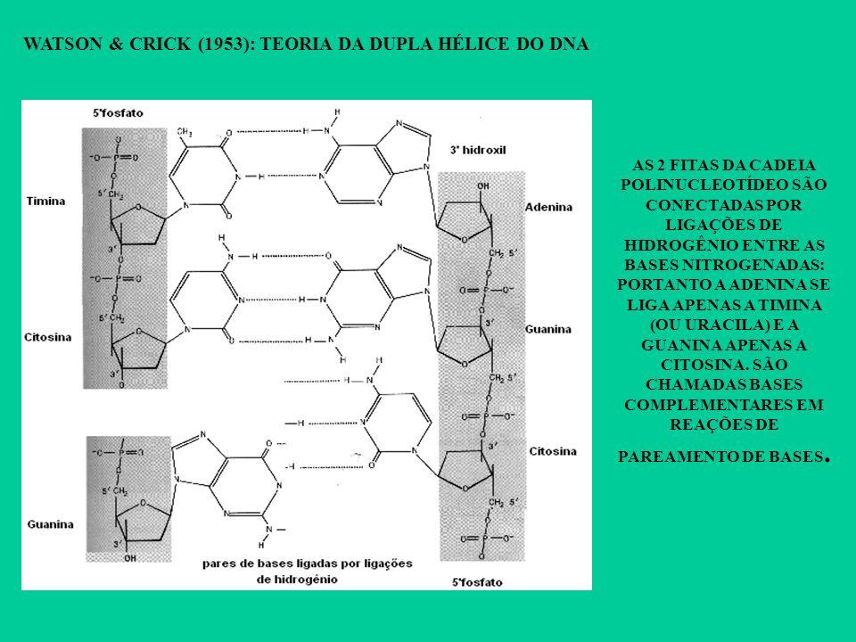 WATSON & CRICK (1953): TEORIA DA DUPLA HÉLICE DO DNA AS 2 FITAS DA CADEIA POLINUCLEOTÍDEO SÃO CONECTADAS POR LIGAÇÕES DE HIDROGÊNIO ENTRE AS BASES NIT