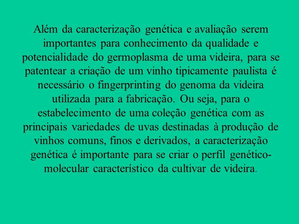Além da caracterização genética e avaliação serem importantes para conhecimento da qualidade e potencialidade do germoplasma de uma videira, para se p