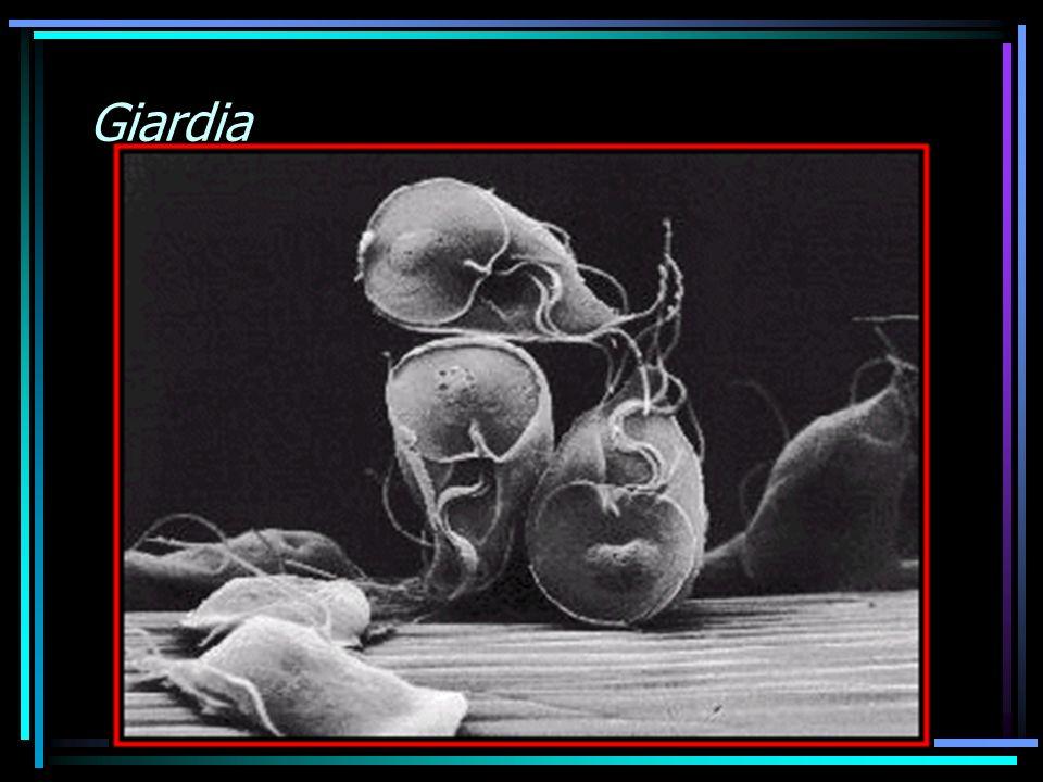 PROTOZOÁRIOS AMEBA GIARDIA Crypatosporidium OUTROS