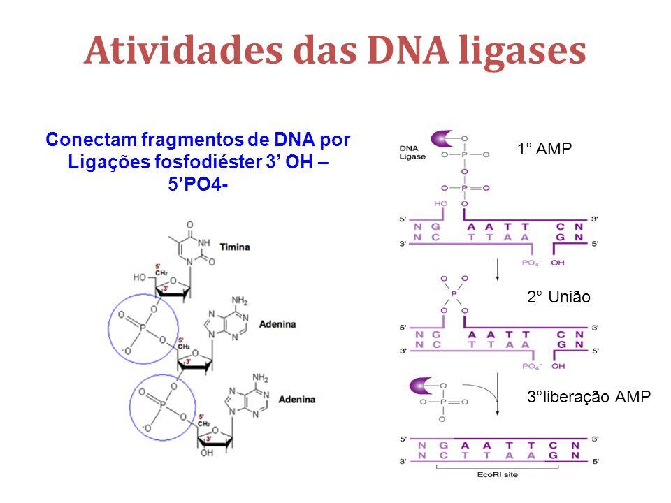 Atividades das DNA ligases Conectam fragmentos de DNA por Ligações fosfodiéster 3 OH – 5PO4- 1° AMP 2° União 3°liberação AMP