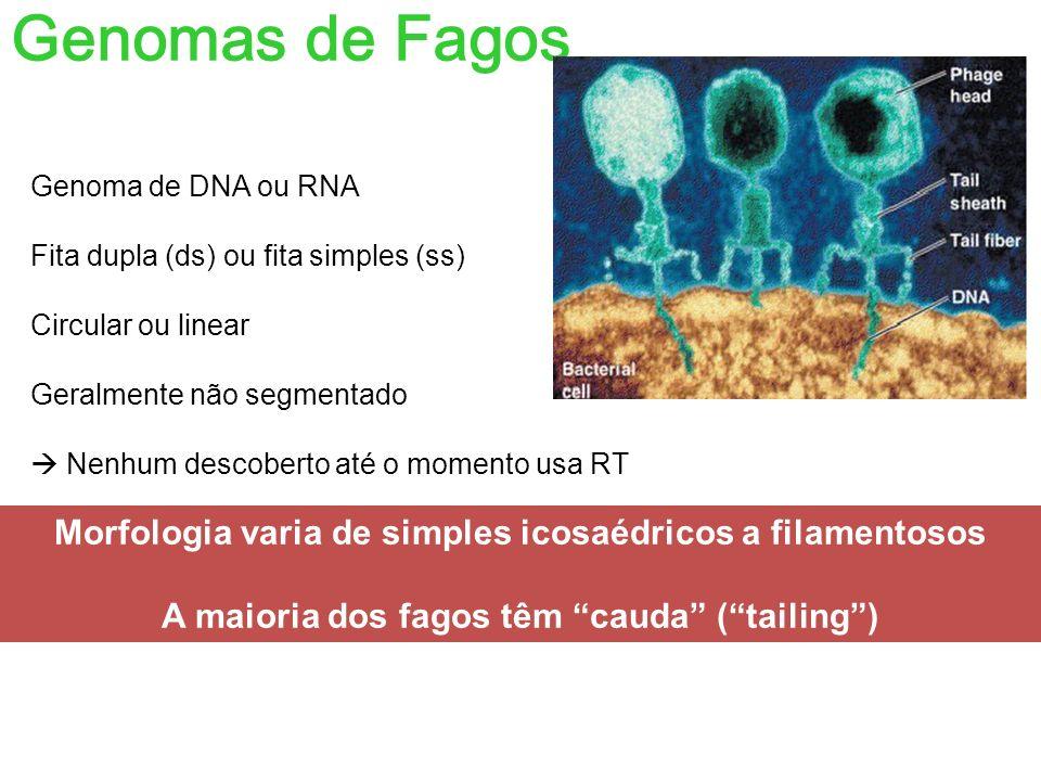 Genomas de Fagos 1) Genomas RNA (pequenos e ss – menor que 10 Kb) 2) Genomas DNA (pequenos - menor que 10Kb) 3) Genomas DNA médios e grandes (30 a 200kb): 4 grupos com morfologias similares e que podem produzir recombinantes viáveis: Exemplos: 1) Bacteriófago T1 (~50 kb) 2) Bacteriófagos T2, T4, e T6 (~170 kb) 3) Bacteriófagos T3 e T7 (~40 kb) 4) Bacteriófago T5 (~130 kb)