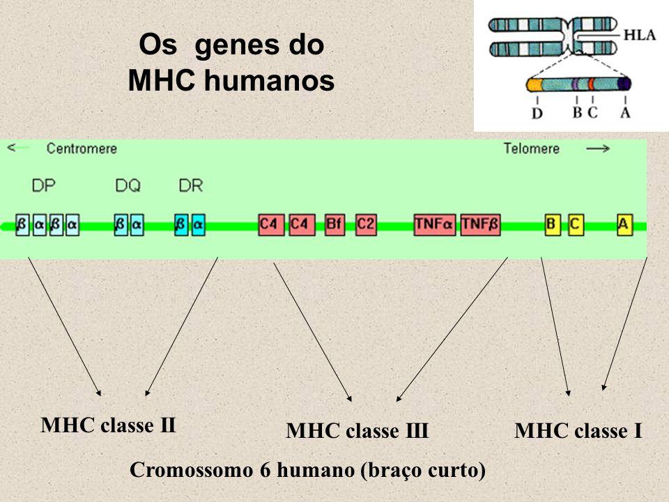 MHC classe II MHC classe IIIMHC classe I Os genes do MHC humanos Cromossomo 6 humano (braço curto)