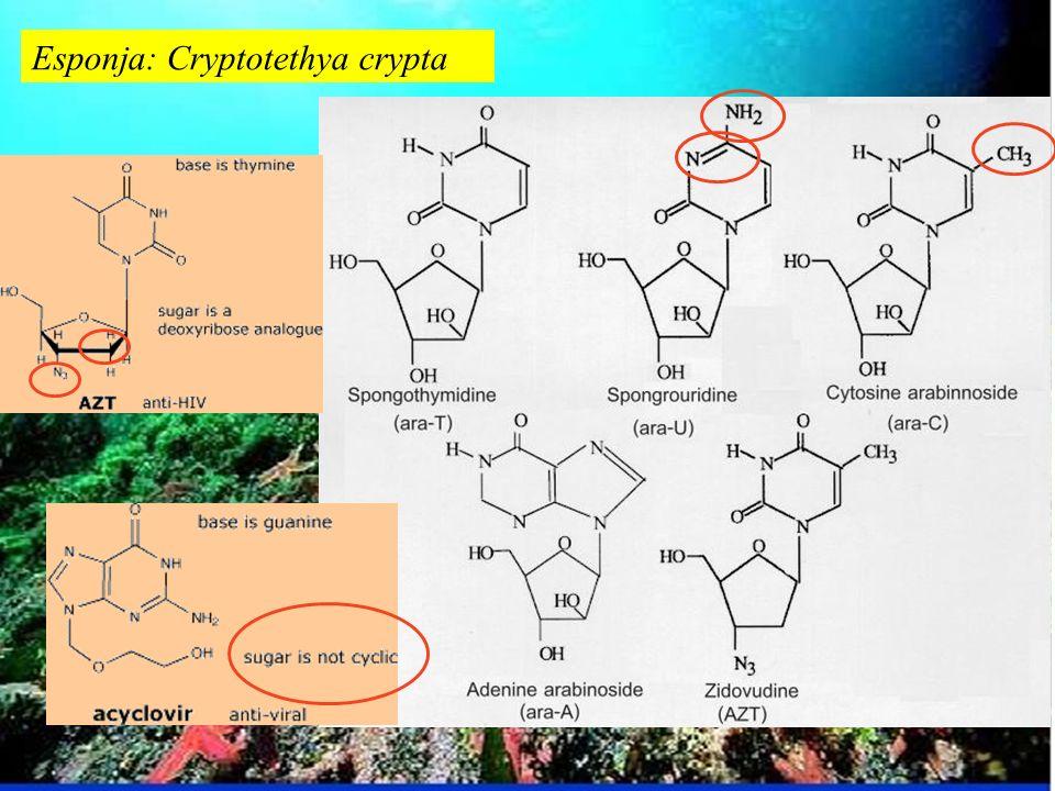 Esponja: Cryptotethya crypta