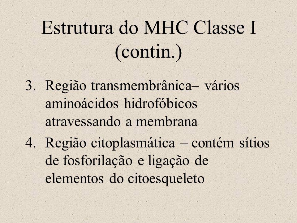 Estrutura do MHC Classe I (contin.) 3.Região transmembrânica– vários aminoácidos hidrofóbicos atravessando a membrana 4.Região citoplasmática – contém